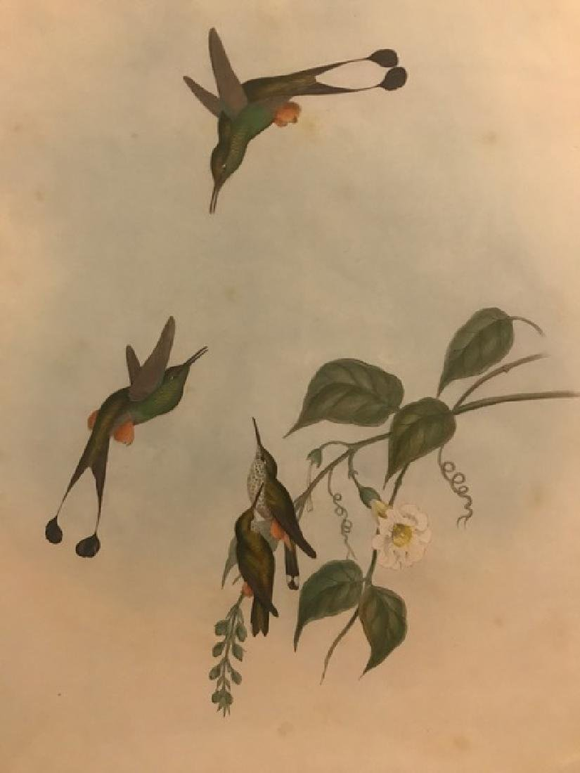 J. Gould Lithograph: Red Booted Racket-Tail - 3