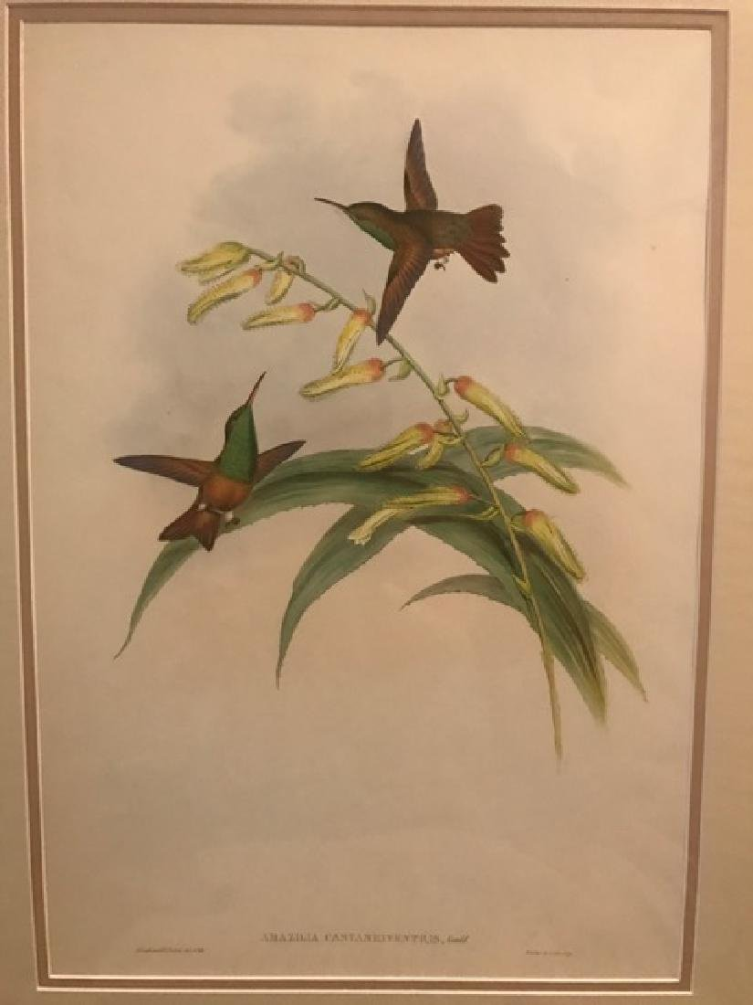 J. Gould Lithograph: Chestnut-Bellied Amazilli