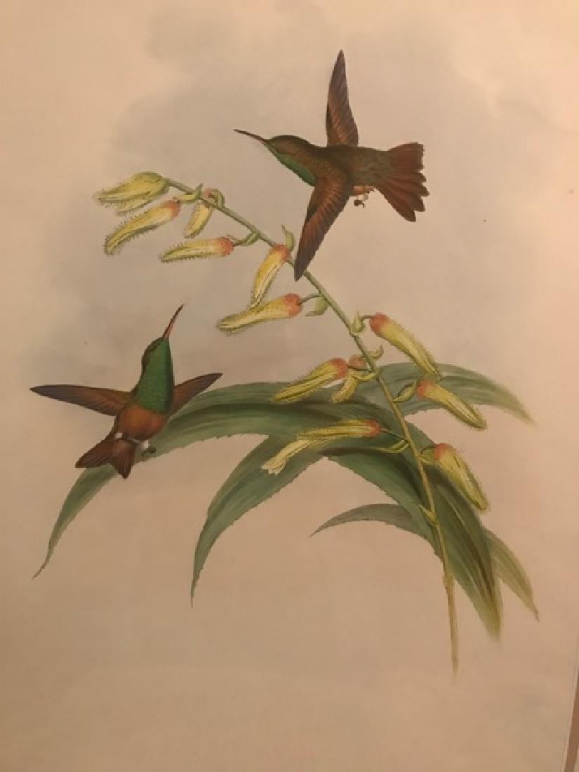 J. Gould Lithograph: Chestnut-Bellied Amazilli - 3