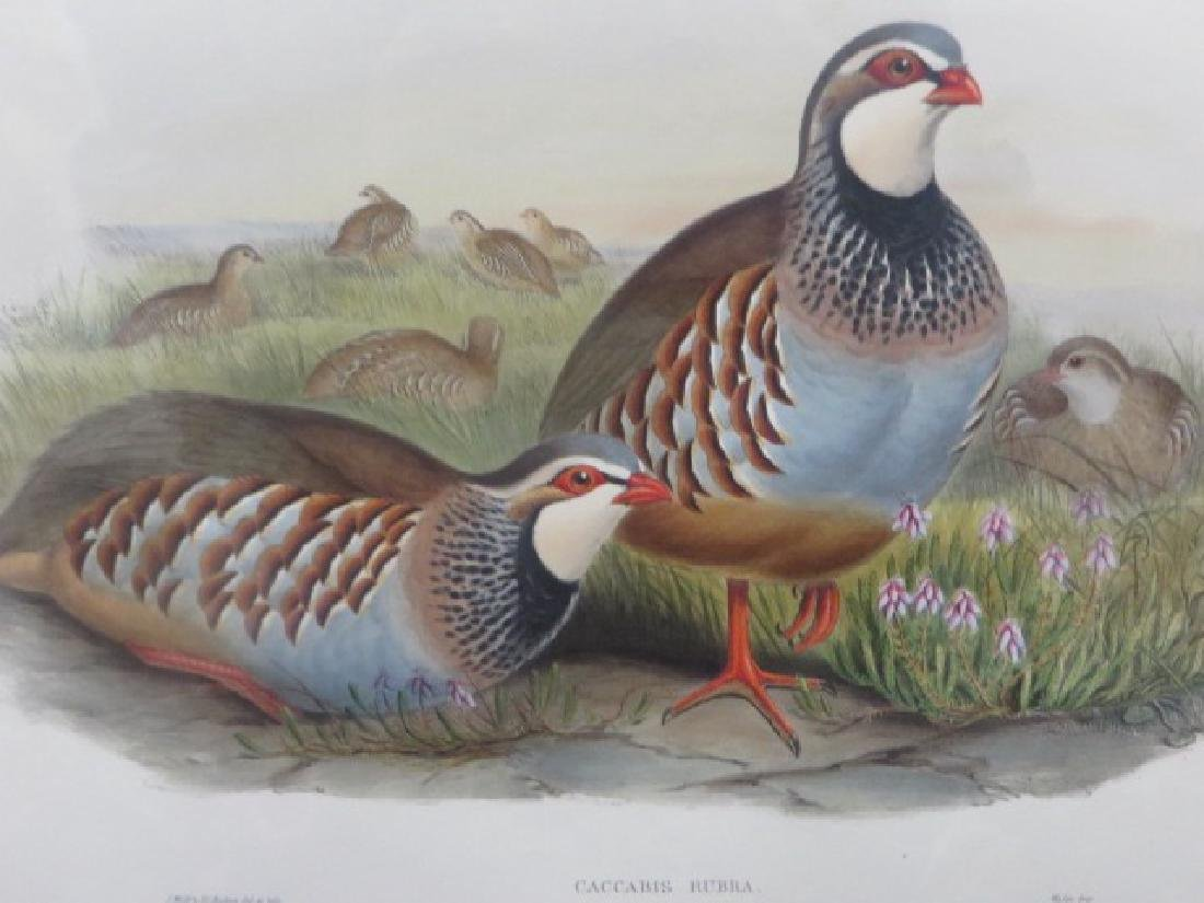 J. Gould Lithograph: Red-Legged Partridge