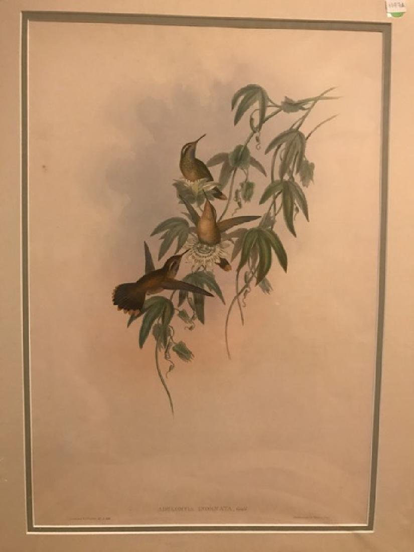 J. Gould Lithograph: Purple Throated Adelomyia