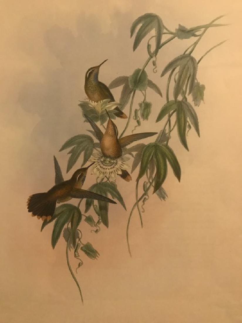 J. Gould Lithograph: Purple Throated Adelomyia - 3