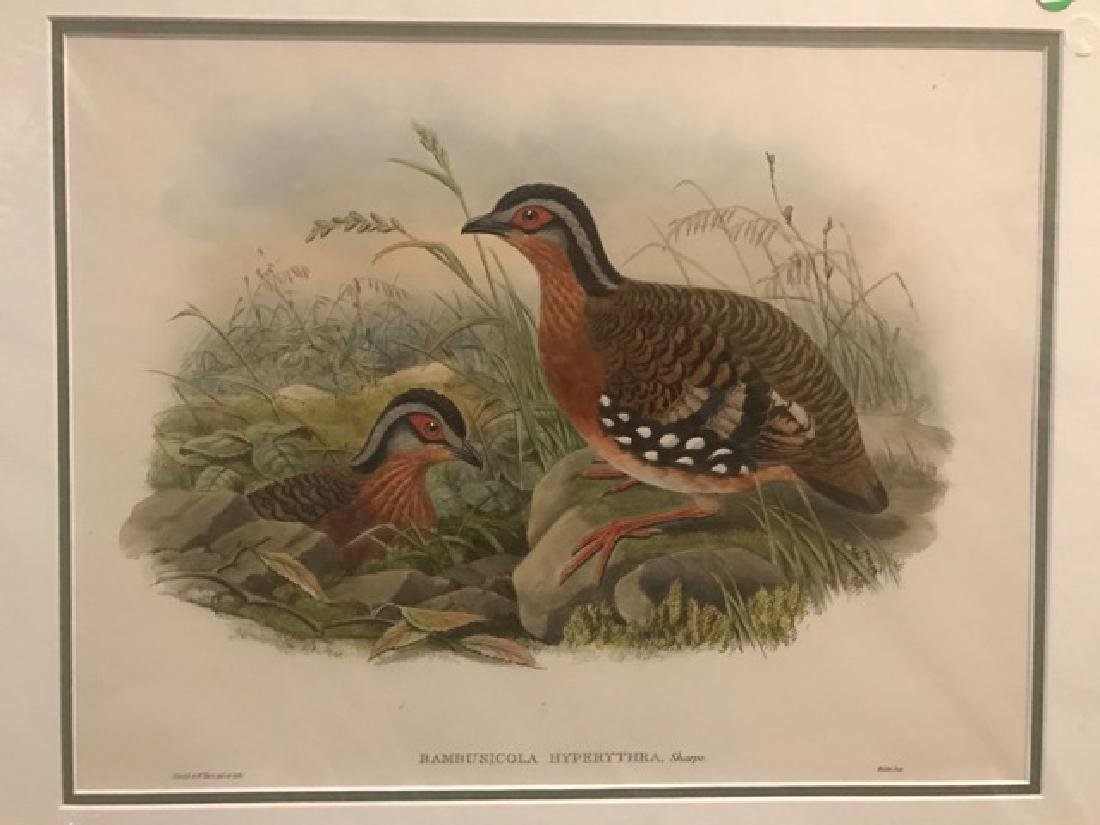 J. Gould Lithograph: Rufous-Breasted Bamboo-Partridge