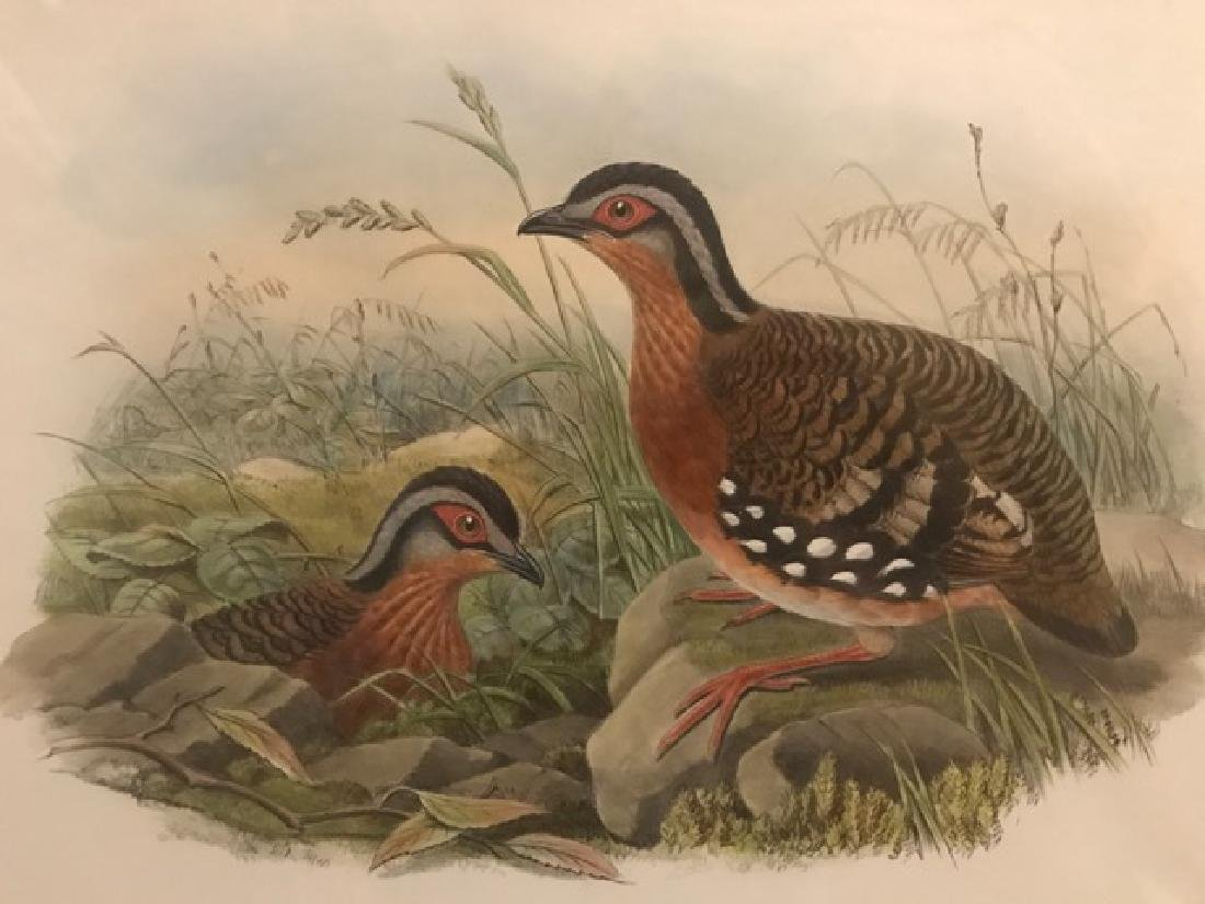 J. Gould Lithograph: Rufous-Breasted Bamboo-Partridge - 3