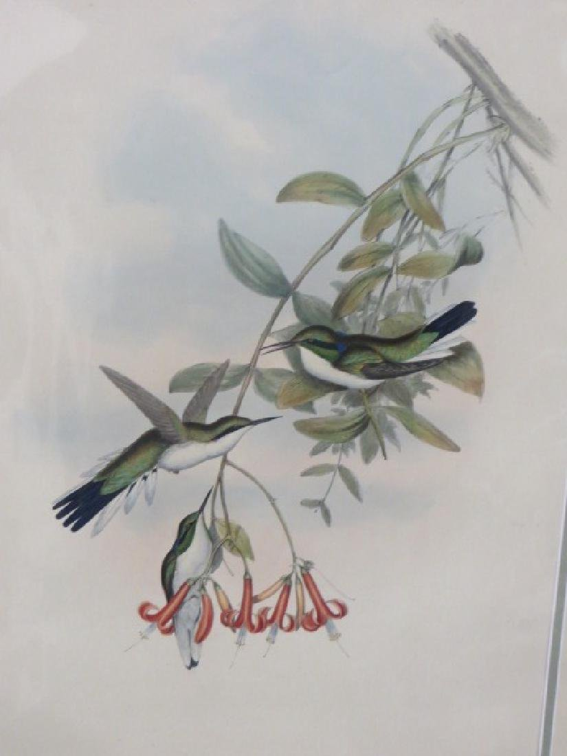 J. Gould Lithograph: Cayenne Fairy