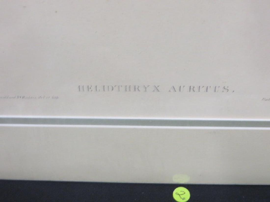 J. Gould Lithograph: Cayenne Fairy - 2