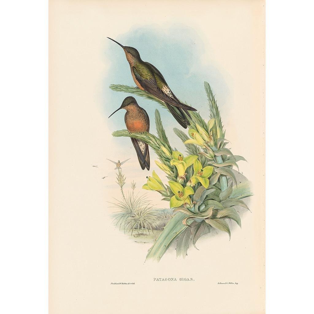 J. Gould Lithograph: Giant Humming Bird