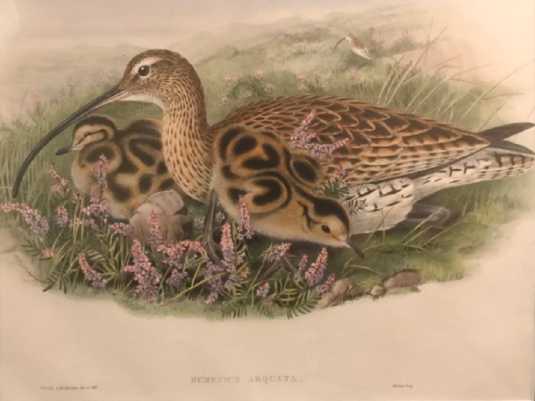 J. Gould Lithograph: Curlew