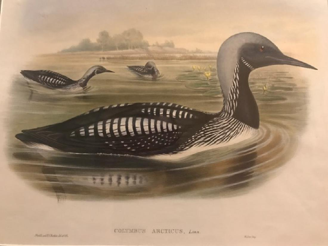 J. Gould Lithograph: Black-Throated Diver