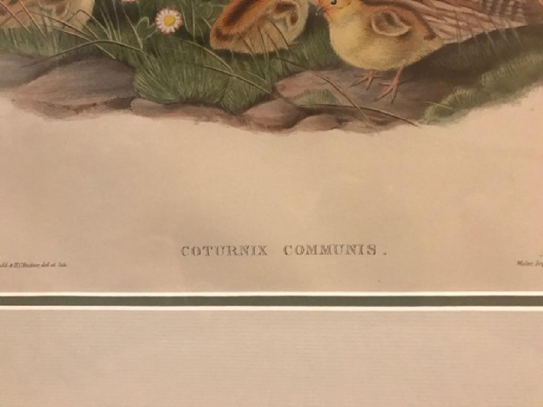 J. Gould Lithograph: Common Quail - 2