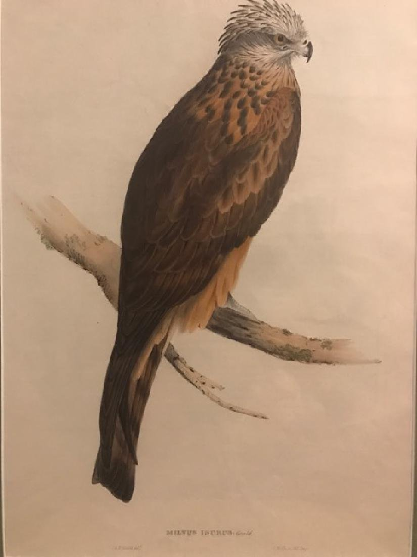 J. Gould Lithograph: Square Tailed-Kite