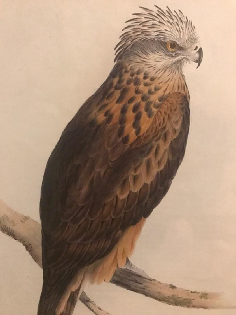 J. Gould Lithograph: Square Tailed-Kite - 3