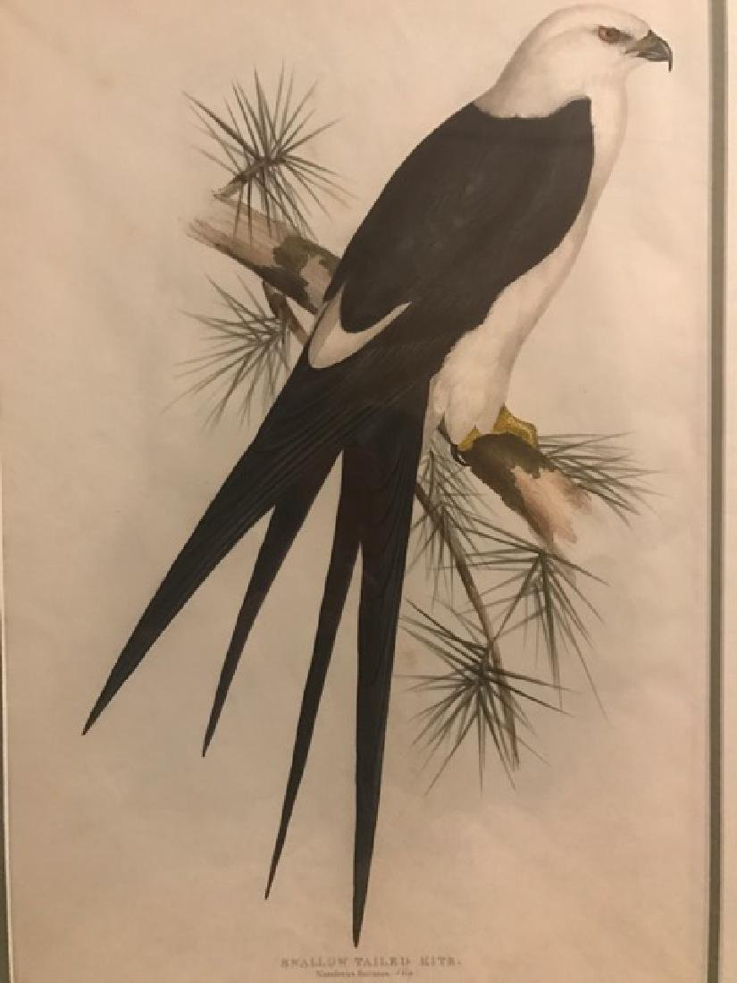 J. Gould Lithograph: Swallow-Tailed Kite