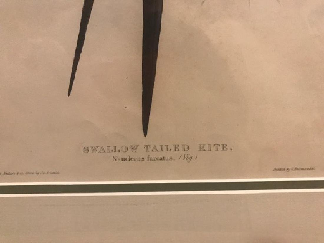 J. Gould Lithograph: Swallow-Tailed Kite - 2