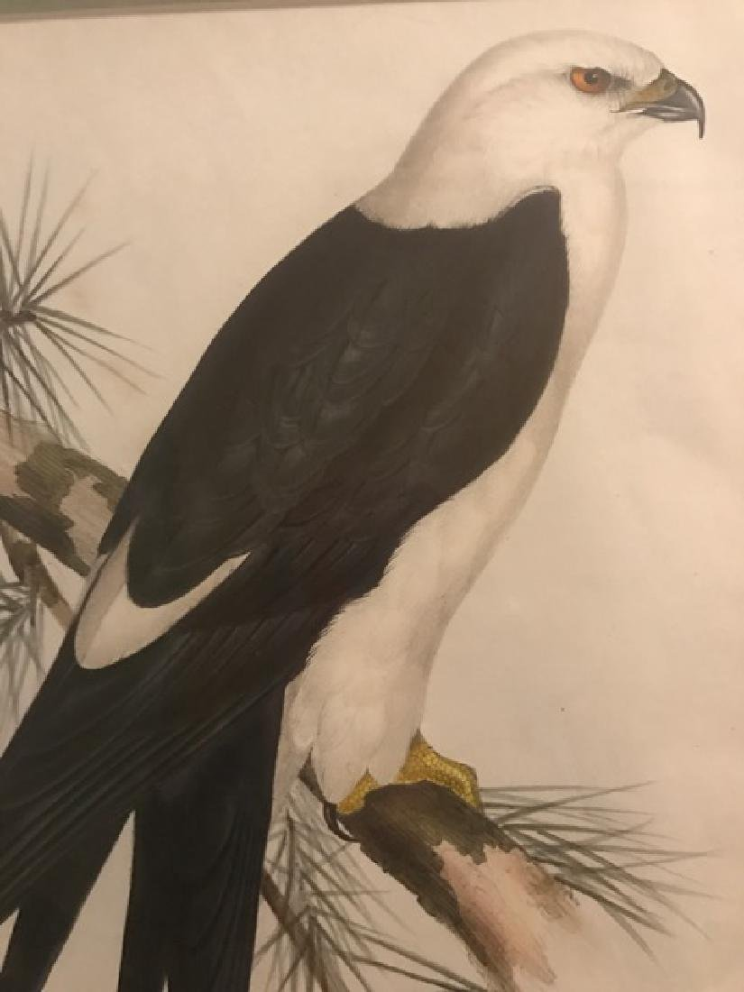 J. Gould Lithograph: Swallow-Tailed Kite - 3
