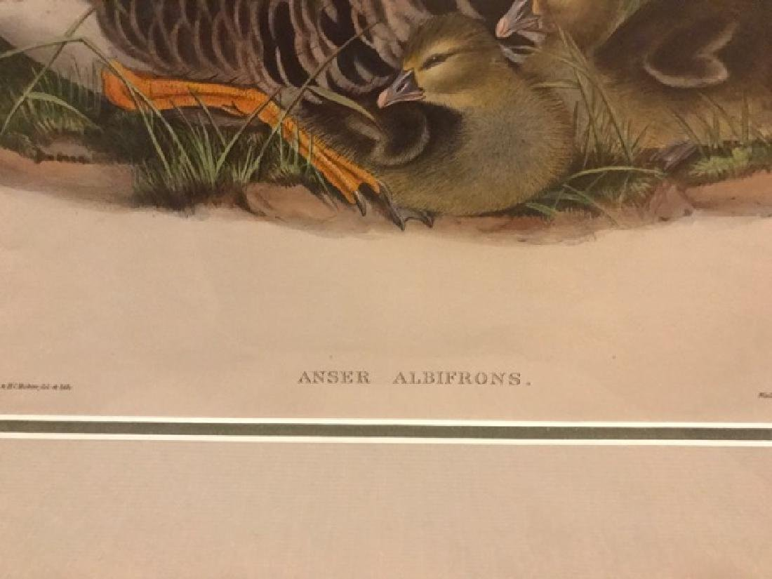 J. Gould Lithograph: White-Fronted Goose - 2