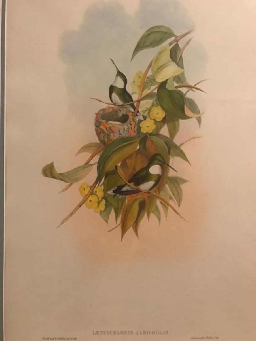J. Gould Lithograph: White-Throat