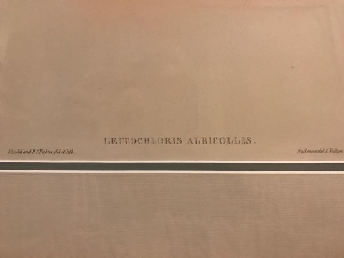 J. Gould Lithograph: White-Throat - 2