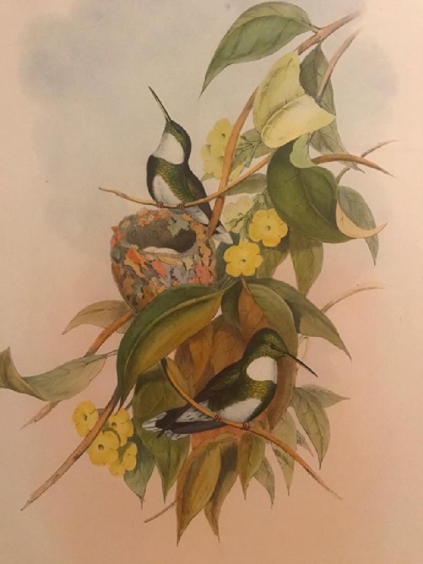 J. Gould Lithograph: White-Throat - 3