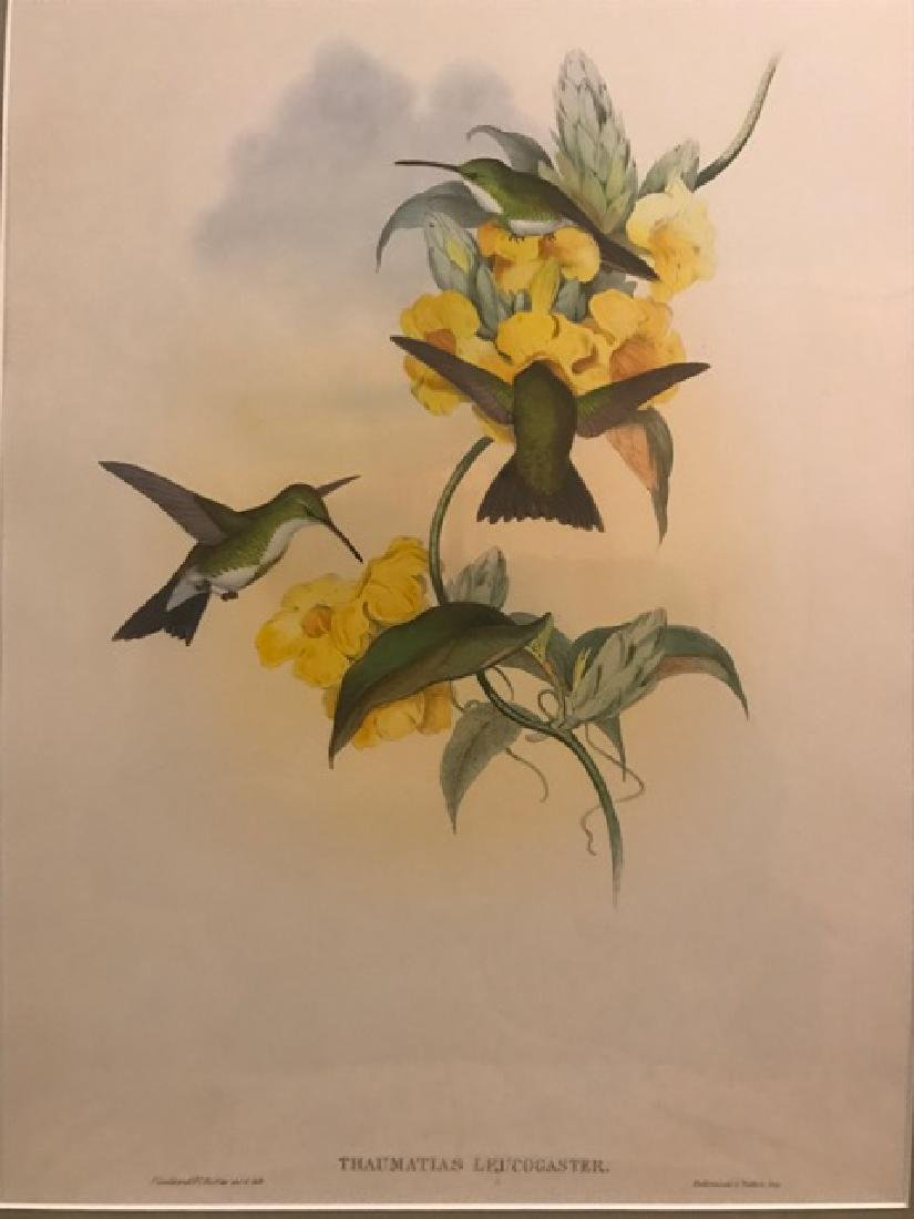 J. Gould Lithograph: White-Throated Emerald