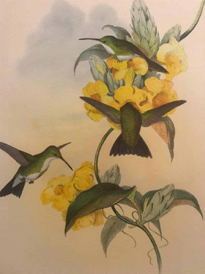 J. Gould Lithograph: White-Throated Emerald - 3