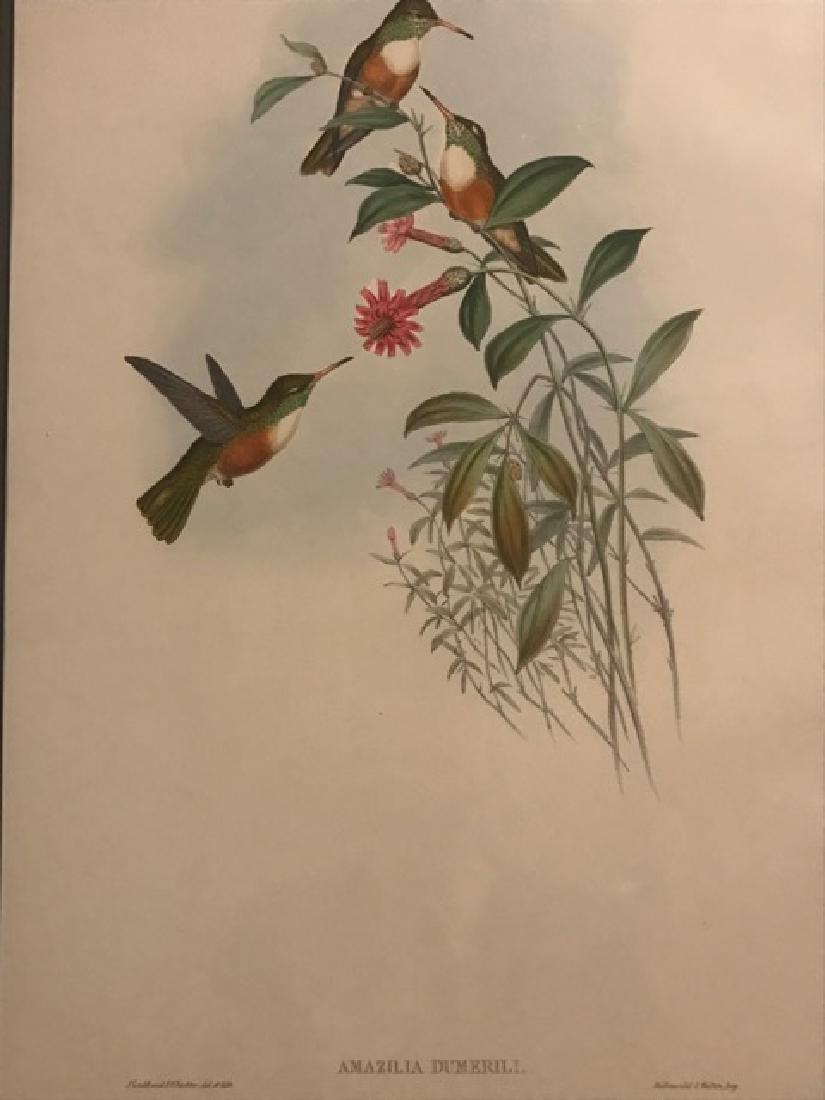J. Gould Lithograph: Dumerils Amazili Humming Bird