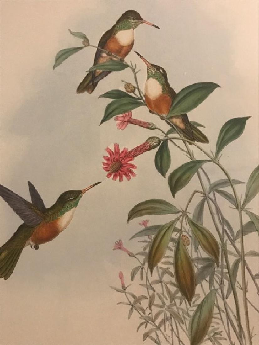 J. Gould Lithograph: Dumerils Amazili Humming Bird - 3