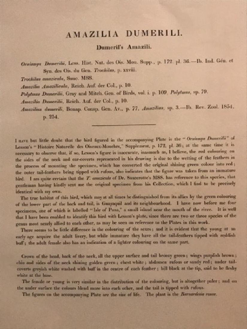 J. Gould Lithograph: Dumerils Amazili Humming Bird - 4