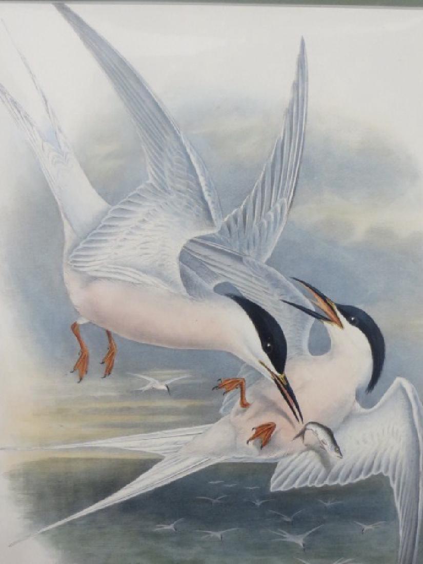 J. Gould Lithograph: Roseate Tern