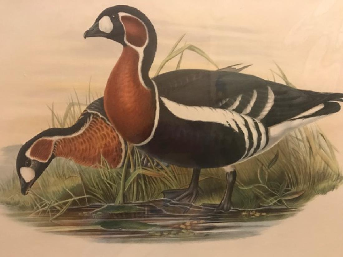 J. Gould Lithograph: Red-Breasted Goose - 3