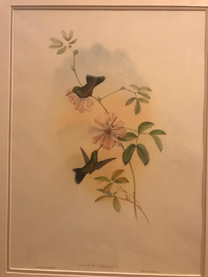 J. Gould Lithograph: Doubledays Humming-Bird