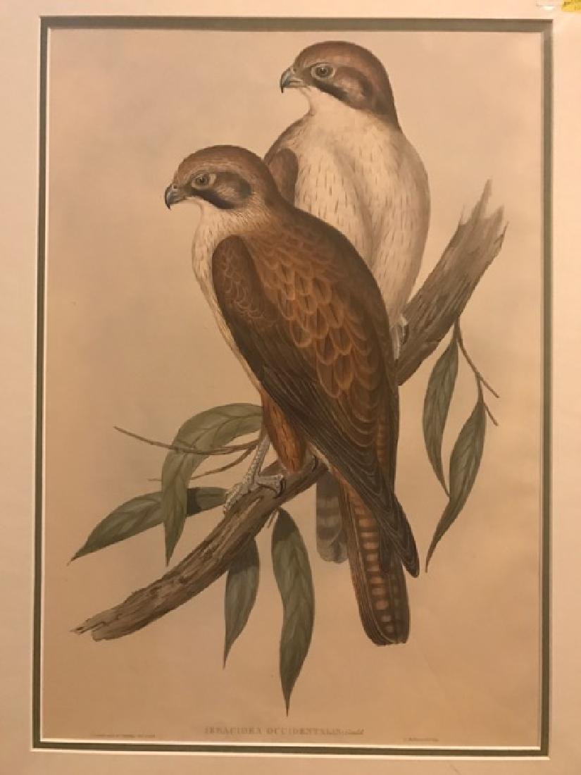 J. Gould Lithograph: Western Brown Hawk