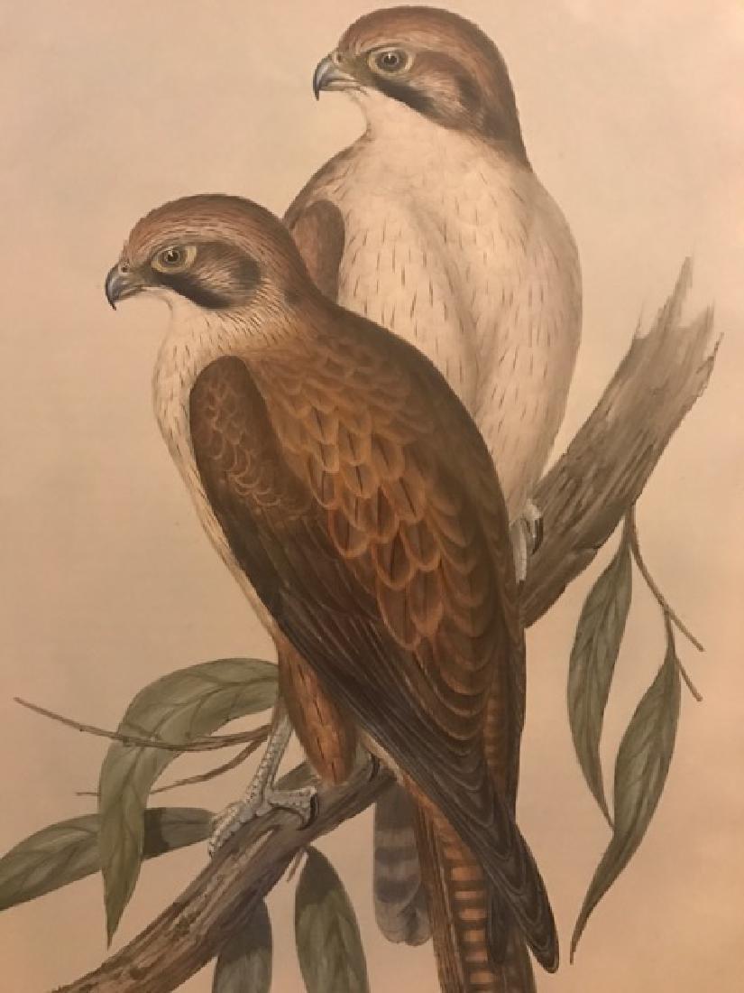 J. Gould Lithograph: Western Brown Hawk - 3