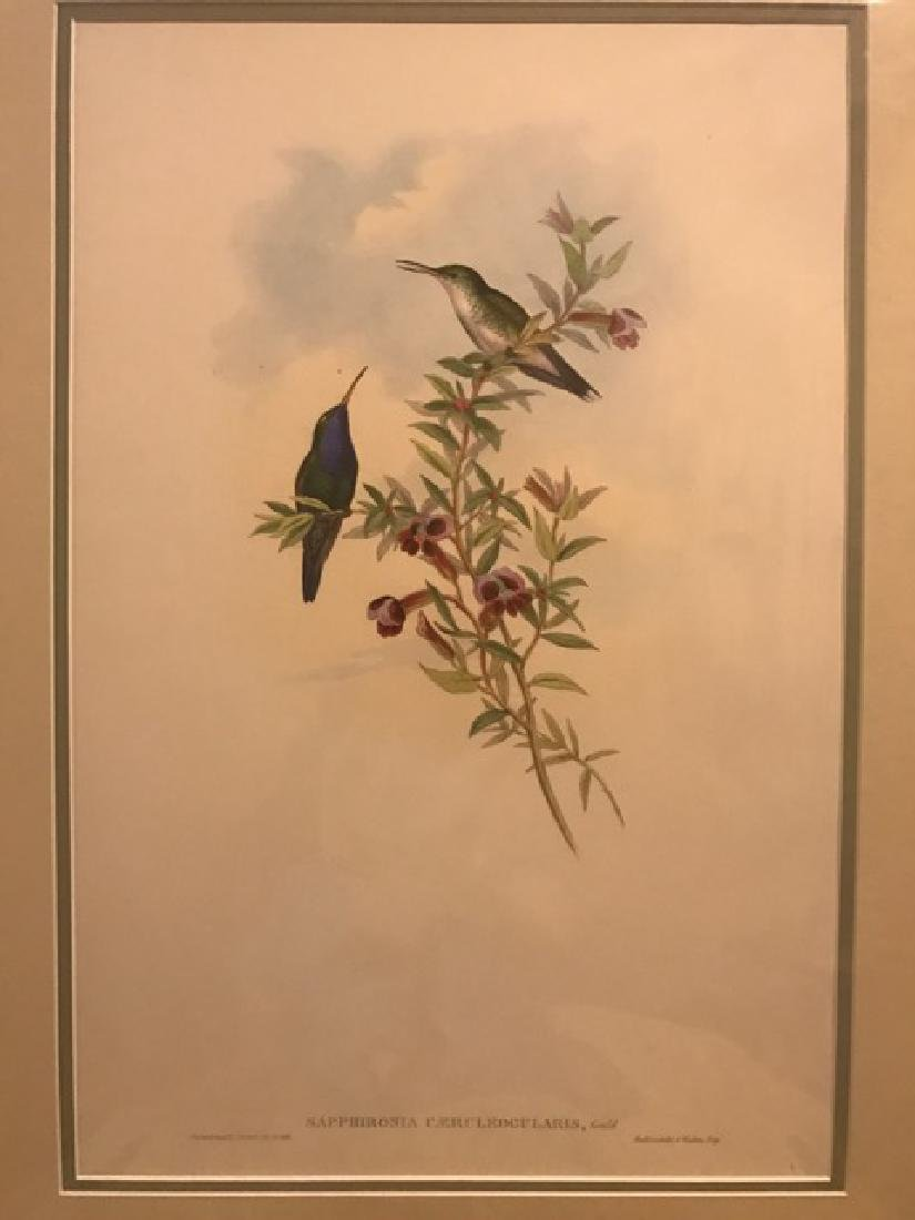 J. Gould Lithograph: Blue-Throated Sapphironia