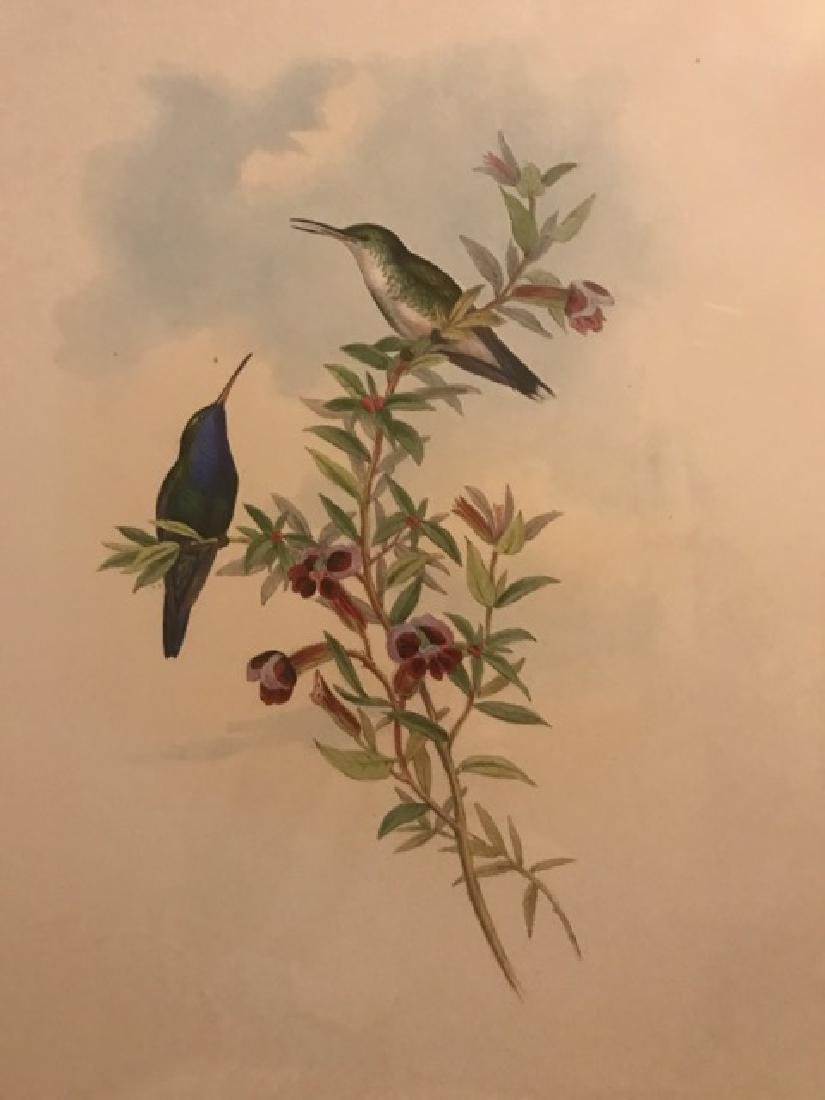 J. Gould Lithograph: Blue-Throated Sapphironia - 3