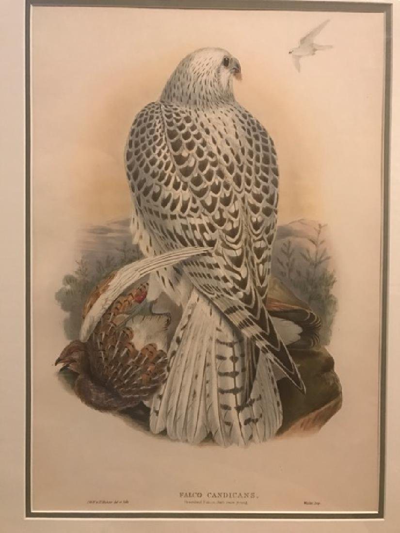 J. Gould Lithograph: Greenland Falcon, Dark Race Young