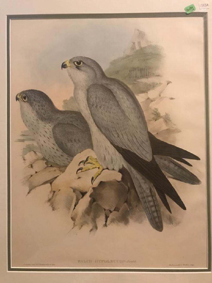 J. Gould Lithograph: Grey Falcon