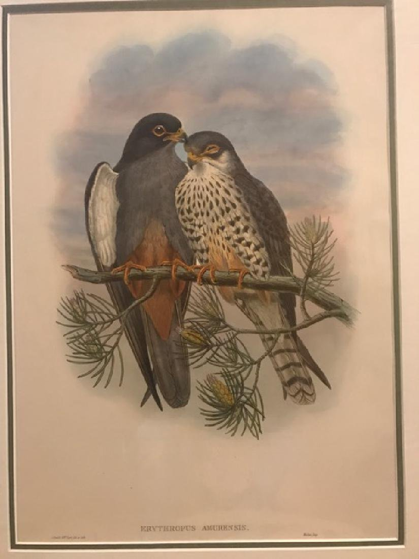 J. Gould Lithograph: White-Winged Red-Footed Kestrel