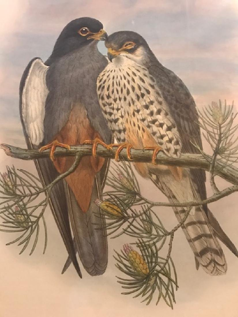 J. Gould Lithograph: White-Winged Red-Footed Kestrel - 3