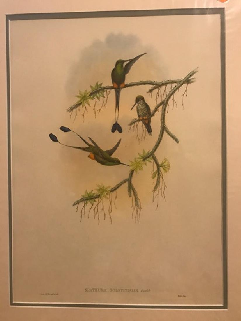 J. Gould Lithograph: Ecuador Racket-Tail