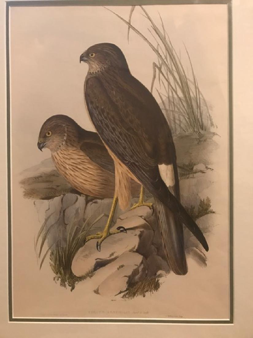 J. Gould Lithograph: Harrier