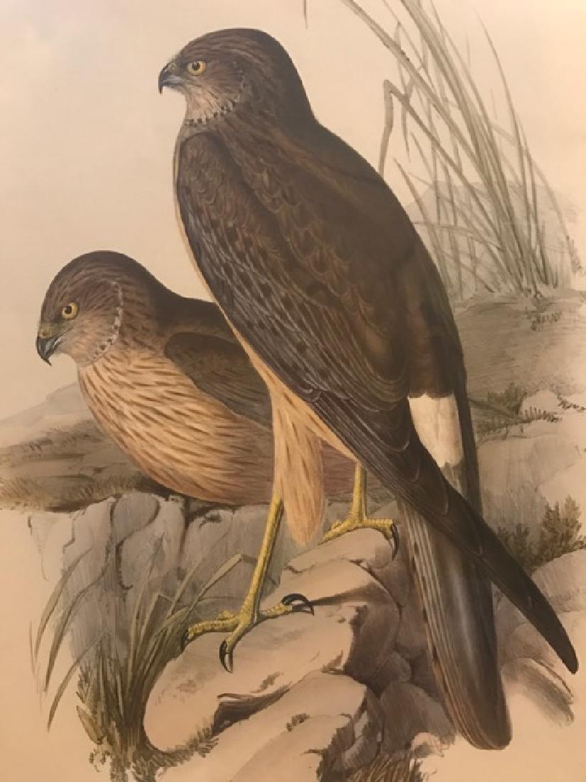 J. Gould Lithograph: Harrier - 3