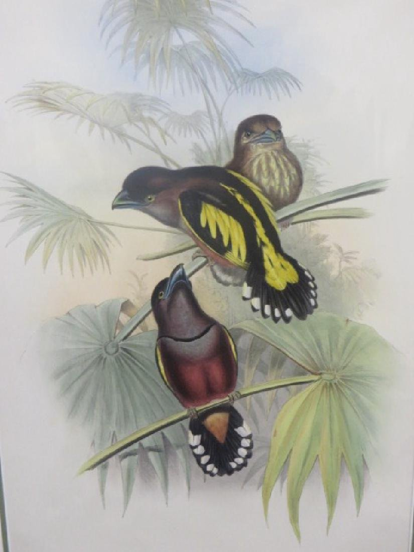 J. Gould Lithograph: Javanese Eurylaime.