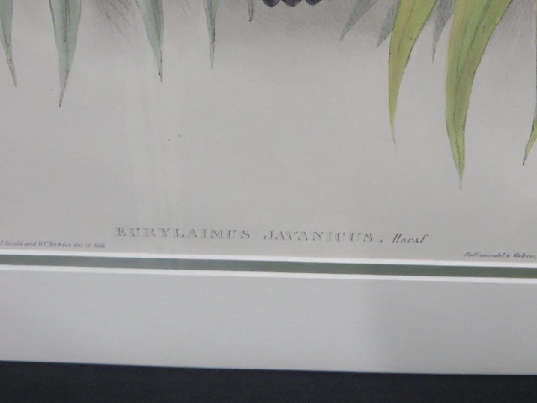 J. Gould Lithograph: Javanese Eurylaime. - 2