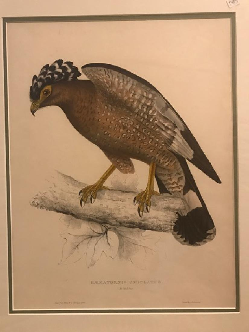 J. Gould Lithograph: Himalaya Hawk