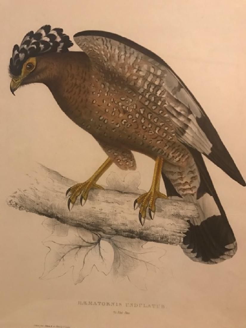 J. Gould Lithograph: Himalaya Hawk - 3
