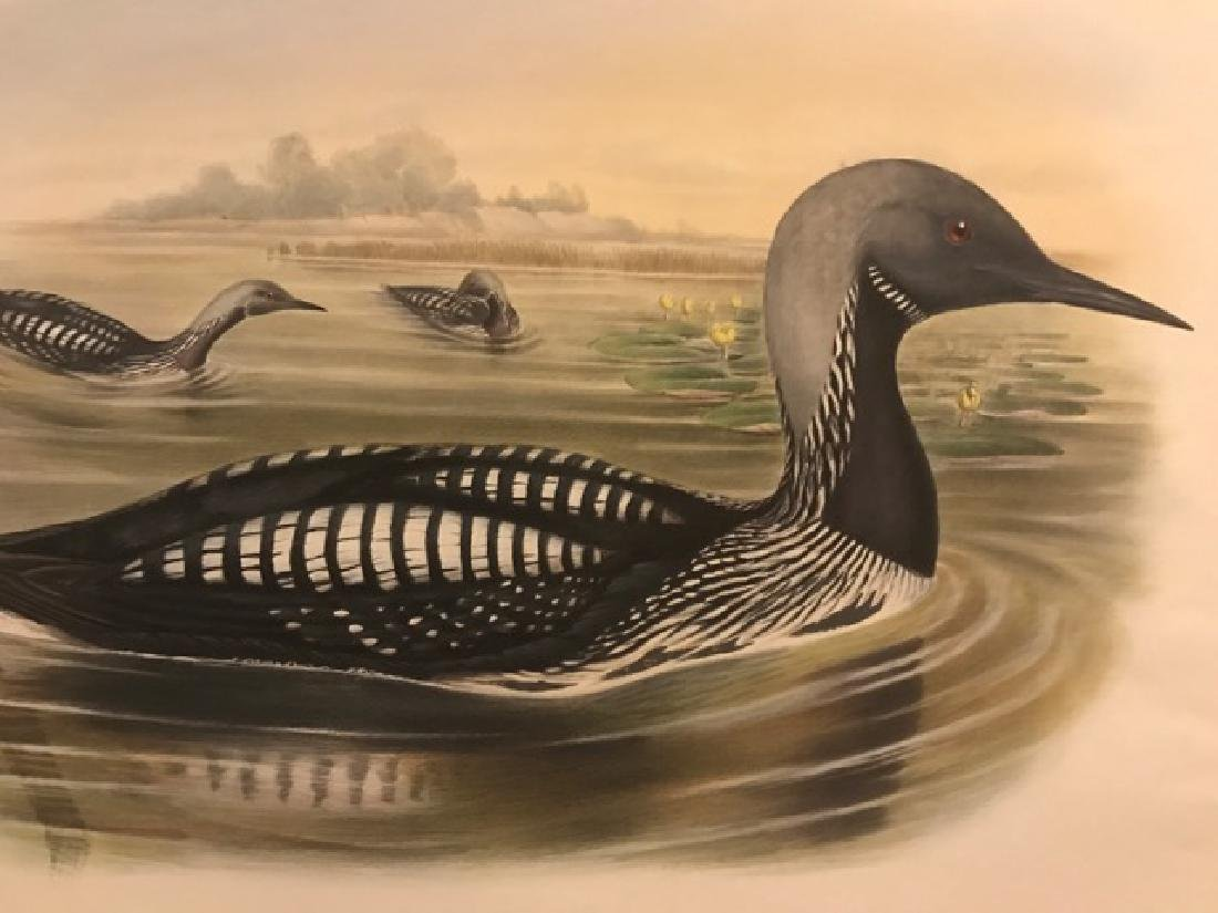 J. Gould Lithograph: Black-Throated Diver - 3