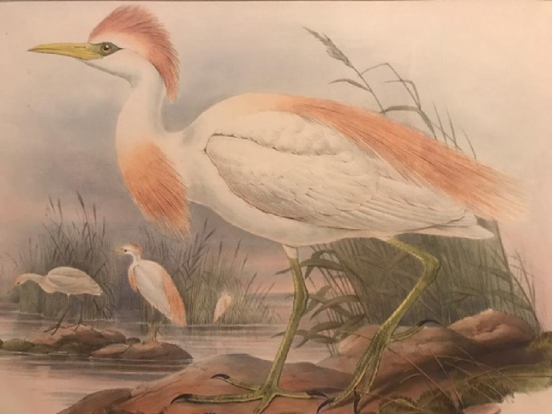 J. Gould Lithograph: Buff-Backed Heron - 3