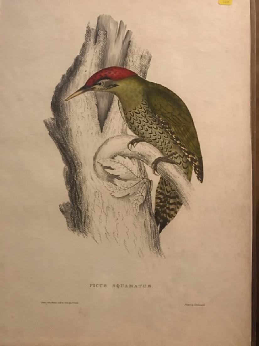 J. Gould Lithograph: Bellied Woodpecker