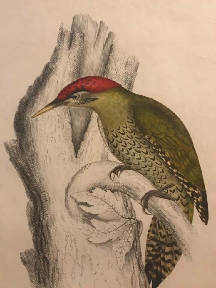 J. Gould Lithograph: Bellied Woodpecker - 3